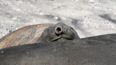 Sleepy Elephant Seal Stock Footage