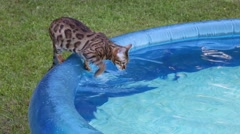 Cat tries the pool water - stock footage
