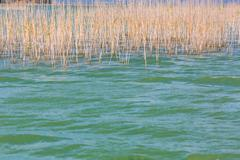 Lake water with reed - stock photo