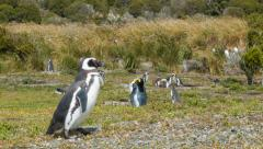 King Penguin Amongst Magellanic Penguins in South America Stock Footage