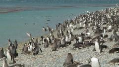 Thousands of Magellanic Penguins on the Rocky Shores of the Beagle Channel Stock Footage