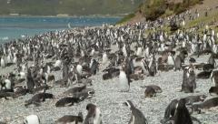 Pan Over Tousands of Magellanic Penguins on Rocky Shores of the Beagle Channel Stock Footage