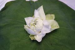 White Lotus flower isolate on lotus leaf - stock photo