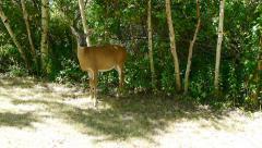 Female Deer in Woods Stock Footage