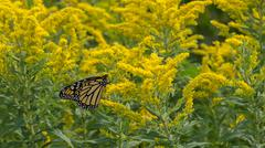 Goldenrod and Monarch Butterfly - stock photo