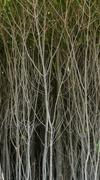 Gray Dogwood Bush Stems - stock photo