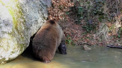 4K footage of a Brown Bear (Ursus arctos) in a small pond Stock Footage