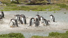 Gentoo Penguin Colony with Babies in their Natural Habitat Stock Footage