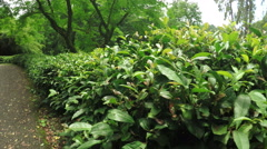 Chinese tea bushes Stock Footage