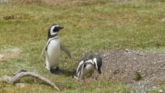 Two Magellanic Penguins in Nature on a Sunny Day Stock Footage