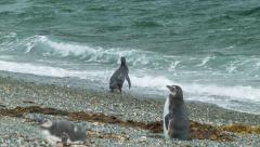 Close-up of Magellanic Penguins Entering the Breaking Waves Stock Footage