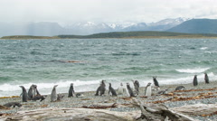 Scene of Magellanic Penguins in Nature - stock footage