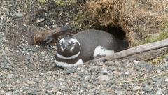 Close-up of a Magellanic Penguin at its Nest in South American Nature Stock Footage