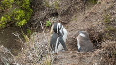 Baby and Adult Pengiun at their Nest in the Wild Stock Footage