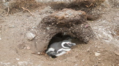 Baby and Adult Pengiun Inside their Nest in their Natural Habitat Stock Footage