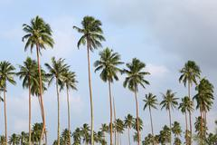 Stock Photo of Palm Tree, Vanuatu