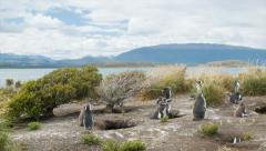 Panning Over Magellanic Penguins at their Nests in Nature Stock Footage