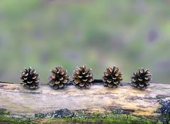 Pine cones arranged on a branch - stock photo