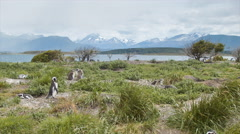 Tierra del Fuego Argentina Scene with Magellanic Penguins Stock Footage