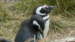 Two Shot Close-up of Magellanic Penguins in Nature Stock Footage