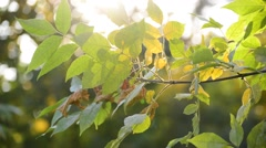 Sun's rays are punched through the autumn leaves Stock Footage