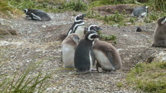 Baby Magellanic Penguins and Parents in the South American Wild Stock Footage