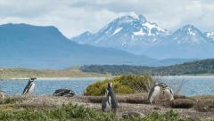 Nature Scene of Magellanic Penguins in Tierra del Fuego Argentina Stock Footage