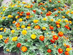 Defocused and blur image of a green flowerbed with colorful decorative flower - stock photo