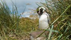 Magellanic Penguins Close-up Low Angle Between the Grass in Nature Stock Footage