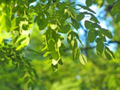 Defocused and blur image of small green leaves of the plant - stock photo