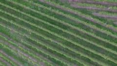 Flight over green vineyard late summer Stock Footage