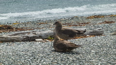 Chilean Skuas Birds Close-up at Shores of the Beagle Channel Stock Footage