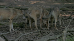 Wolf pack (Canis lupus) socializing in the forest. Stock Footage