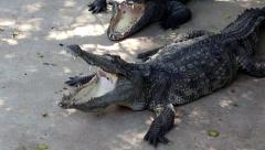 Crocodiles with open mouths Stock Footage