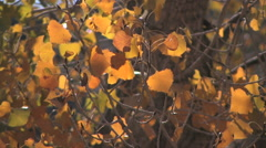 Cottonwood leaves in fall color rustle in the breeze Stock Footage