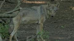 Gray wolf or grey wolf (Canis lupus)  in the forest. Stock Footage