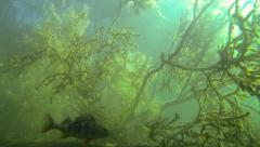 Large perch swimming in front of underwater branches of a fallen tree Stock Footage