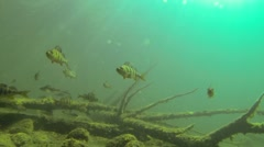 Locked-down shot of a school of fish swimming above sunken trees - stock footage