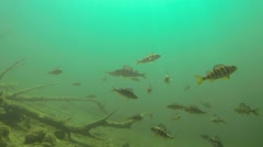 School of fish swimming above sunken trees Stock Footage