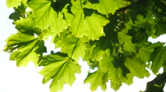 Fresh green maple foliage - stock footage