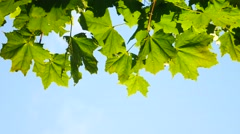 Fresh green maple foliage - stock footage