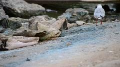 Seagull walking near the coastline with trash Stock Footage