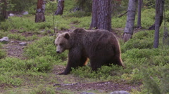 Brown Bear itching against large tree trunk - stock footage