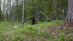 Stock Video Footage of Huge Brown Bear breath heavily raise and itch back to a big tree