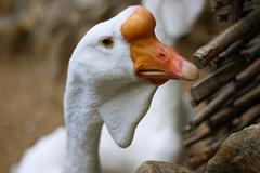 White goose - stock photo