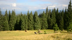 Cows grazing on pasture in Carpathian Mountains in late summer Stock Footage