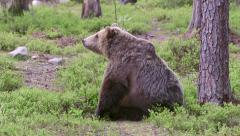 Brown Bear sitting itching raise walk away - stock footage