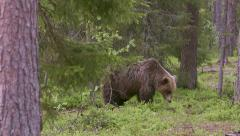 Brown Bear walking left to right in forest - stock footage