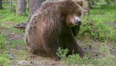 Brown Bear sitting very close itching - stock footage