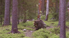 Brown Bear sitting in forest itching - stock footage